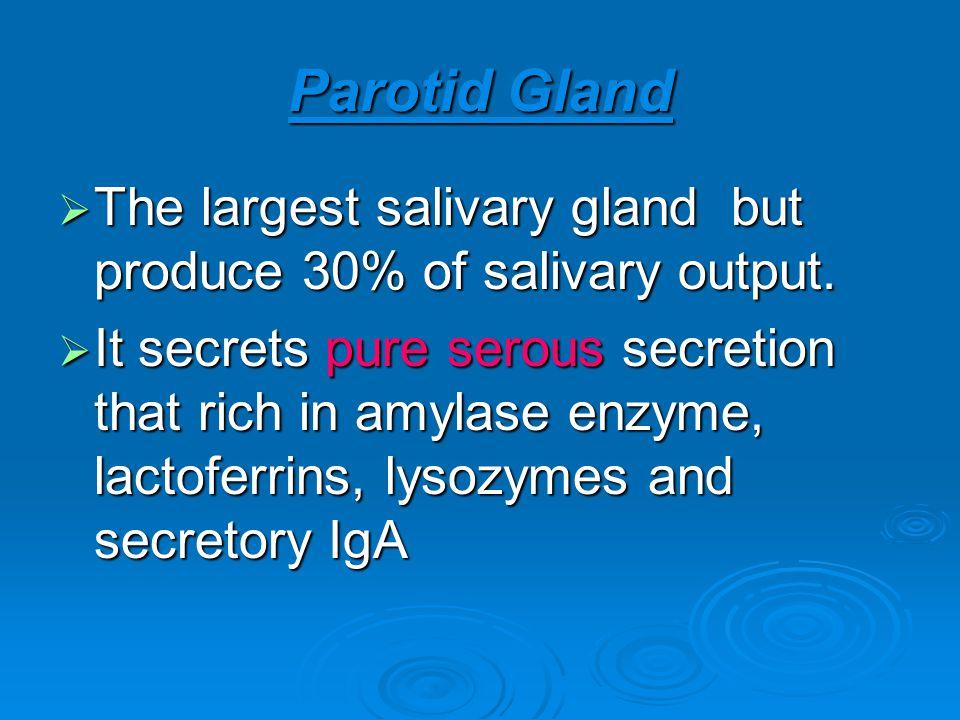 Parotid Gland The largest salivary gland but produce 30% of salivary output. The largest salivary gland but produce 30% of salivary output. It secrets