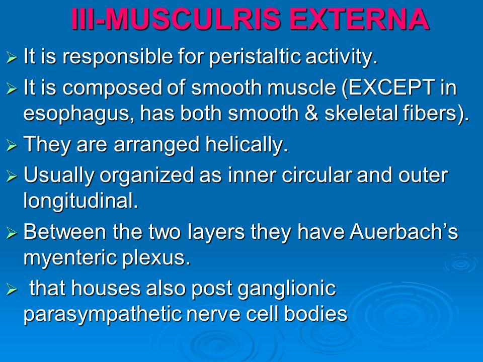 III-MUSCULRIS EXTERNA It is responsible for peristaltic activity. It is responsible for peristaltic activity. It is composed of smooth muscle (EXCEPT