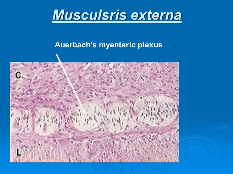 Musculsris externa Auerbachs myenteric plexus