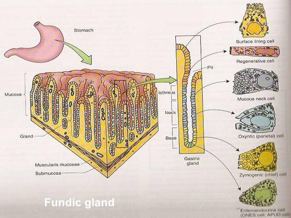 Fundic gland