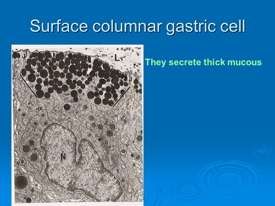 Surface columnar gastric cell They secrete thick mucous