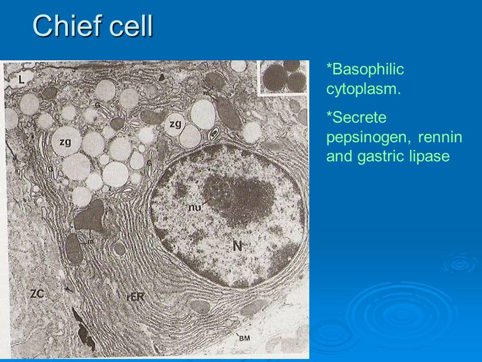 Chief cell *Basophilic cytoplasm. *Secrete pepsinogen, rennin and gastric lipase