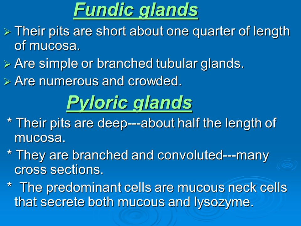 Fundic glands Their pits are short about one quarter of length of mucosa. Their pits are short about one quarter of length of mucosa. Are simple or br
