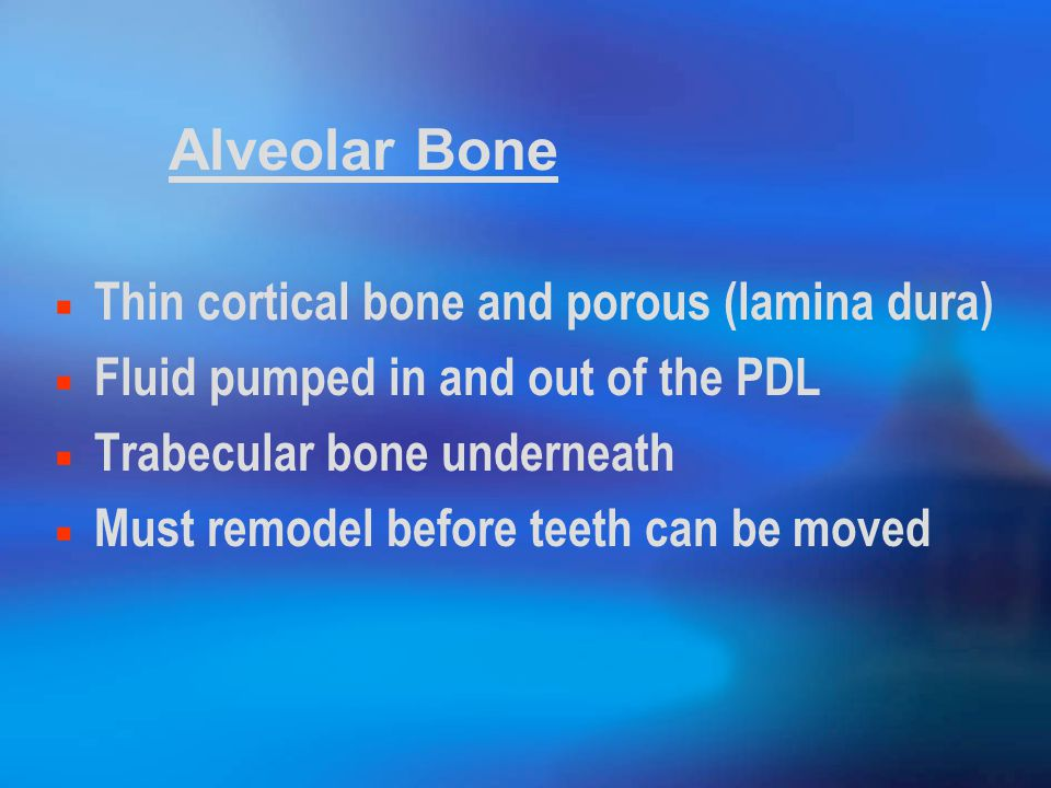 Alveolar Bone Thin cortical bone and porous (lamina dura) Fluid pumped in and out of the PDL Trabecular bone underneath Must remodel before teeth can be moved