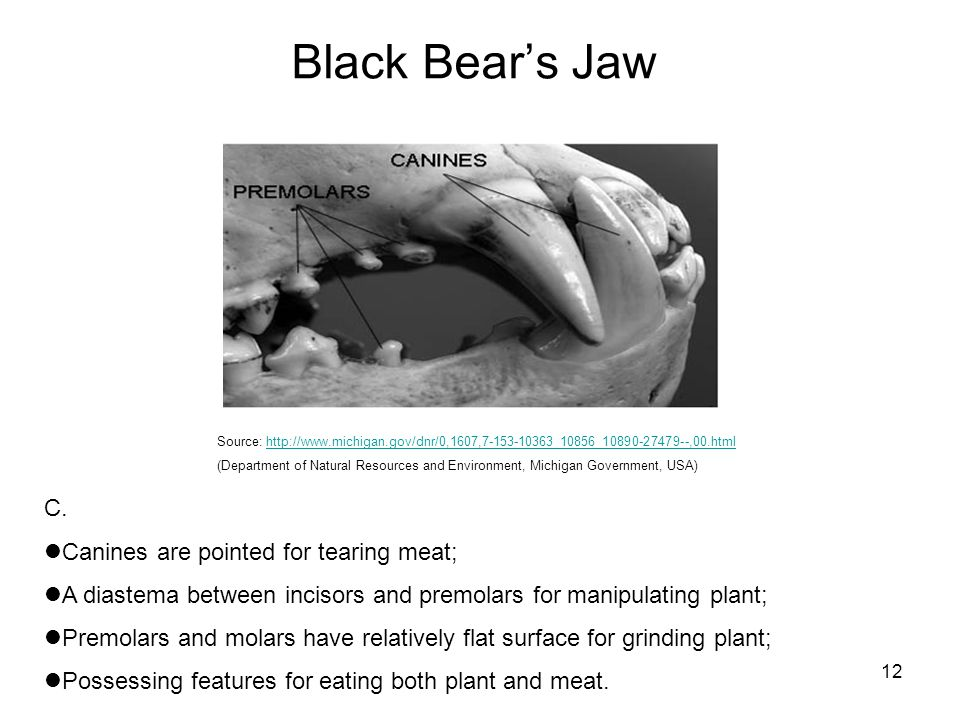 12 Black Bears Jaw C. Canines are pointed for tearing meat; A diastema between incisors and premolars for manipulating plant; Premolars and molars hav