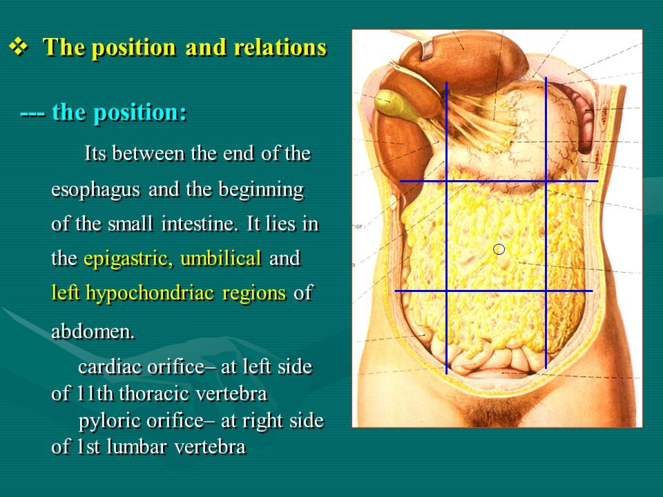 The position and relations --- the position: Its between the end of the esophagus and the beginning of the small intestine. It lies in the epigastric,