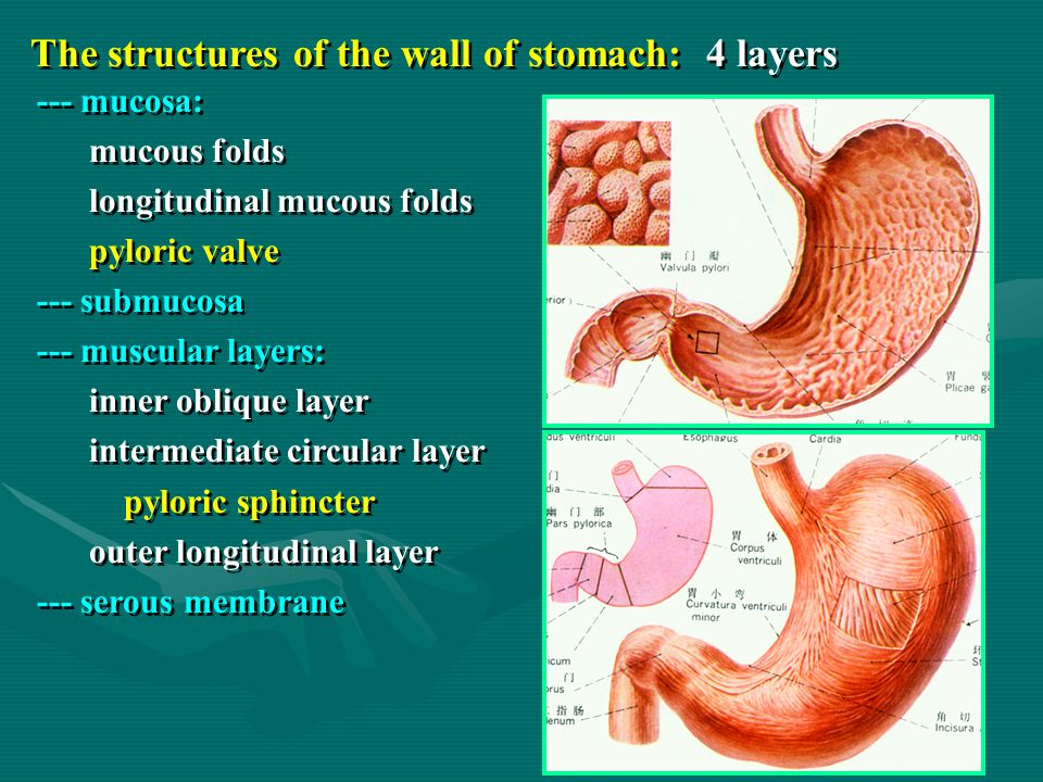 The structures of the wall of stomach: 4 layers --- mucosa: mucous folds longitudinal mucous folds pyloric valve --- submucosa --- muscular layers: in