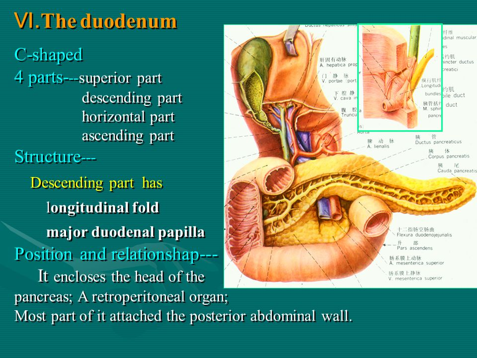 The duodenum C-shaped 4 parts- --superior part descending part horizontal part ascending part Structure --- Descending part has longitudinal fold major duodenal papilla Position and relationshap--- It encloses the head of the pancreas; A retroperitoneal organ; Most part of it attached the posterior abdominal wall.