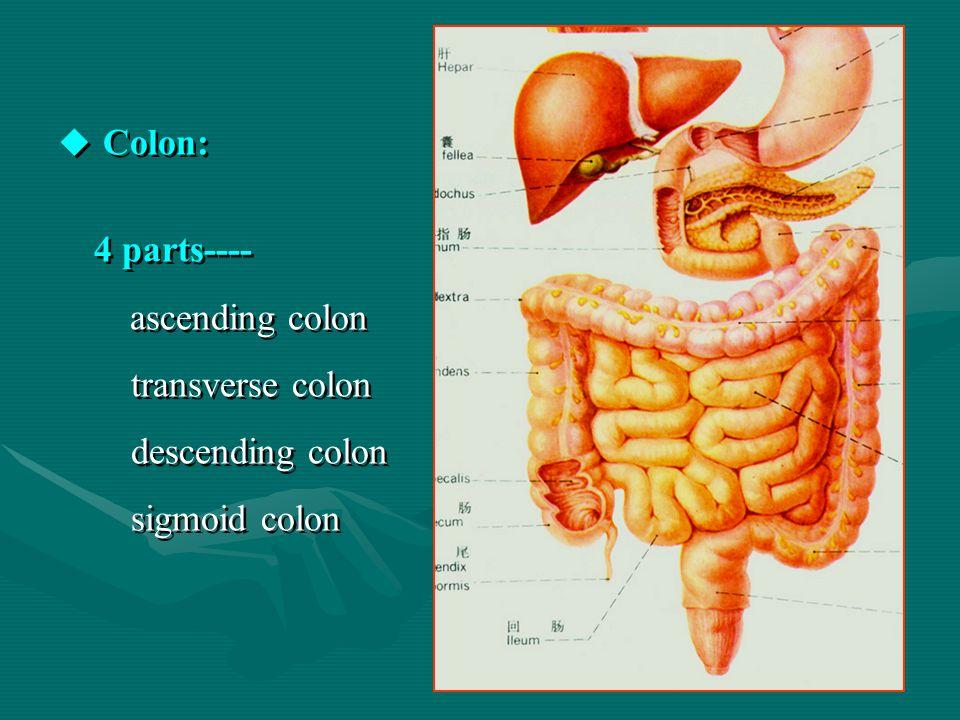 Colon: 4 parts---- ascending colon transverse colon descending colon sigmoid colon Colon: 4 parts---- ascending colon transverse colon descending colon sigmoid colon