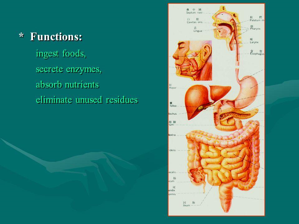 * Functions: ingest foods, secrete enzymes, absorb nutrients eliminate unused residues * Functions: ingest foods, secrete enzymes, absorb nutrients eliminate unused residues