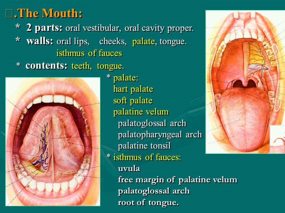 .The Mouth: * 2 parts: oral vestibular, oral cavity proper.