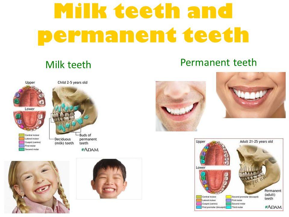 Milk teeth and permanent teeth Milk teeth Permanent teeth