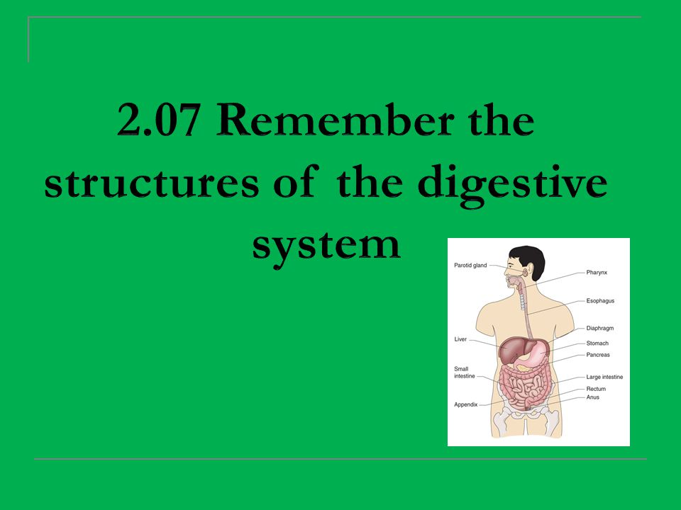 Structures of the digestive system Pharynx (throat) Nasopharynx Connects to the nose Oropharynx Connects to the mouth Located at the back of the Tongue Laryngopharynx A passageway for food, Water, and air into the Internal parts of the body.