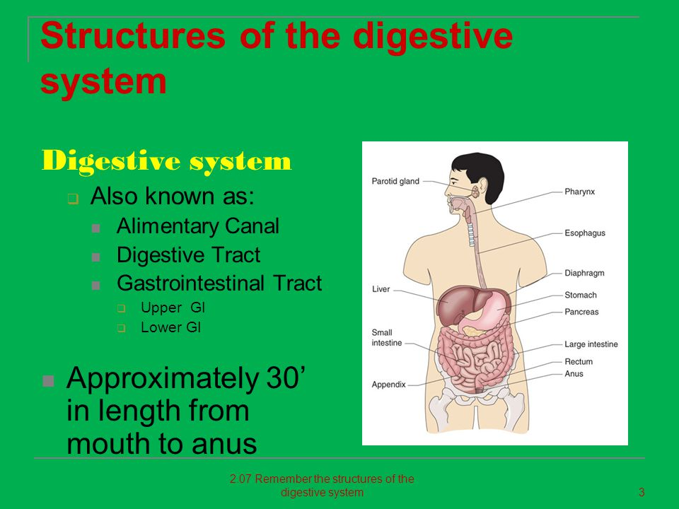 Primary structures Mouth Esophagus Stomach Small intestines Large intestines Accessory structures Tongue Teeth Salivary glands Pancreas Liver Gall bladder 2.07 Remember the structures of the digestive system4 Structures of the digestive system