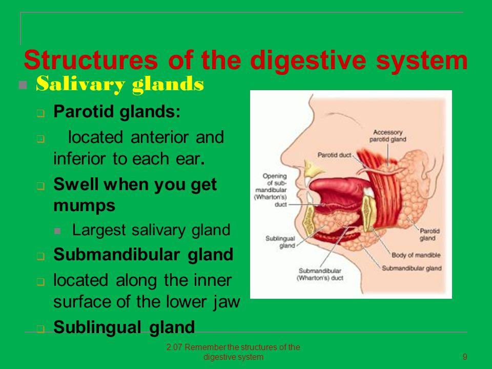 Salivary glands produce 1-1.5 liters of saliva daily.