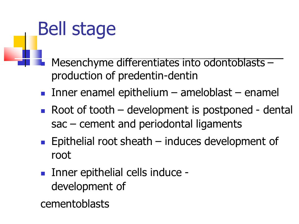 Bell stage Mesenchyme differentiates into odontoblasts – production of predentin-dentin Inner enamel epithelium – ameloblast – enamel Root of tooth – development is postponed - dental sac – cement and periodontal ligaments Epithelial root sheath – induces development of root Inner epithelial cells induce - development of cementoblasts