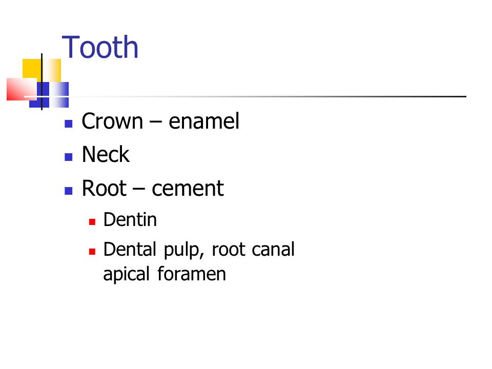 Tooth Crown – enamel Neck Root – cement Dentin Dental pulp, root canal apical foramen