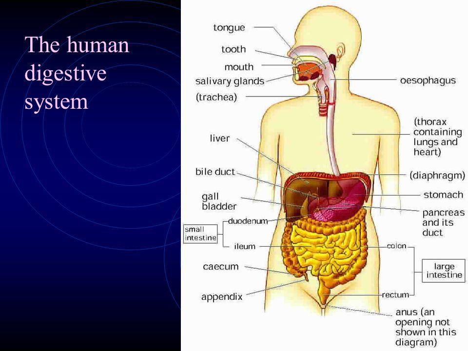 15.4 Digestion in Humans 15.4.1 Digestion in the mouth Mechanical digestion of food begins in the buccal cavity. The tongue manipulates the food durin