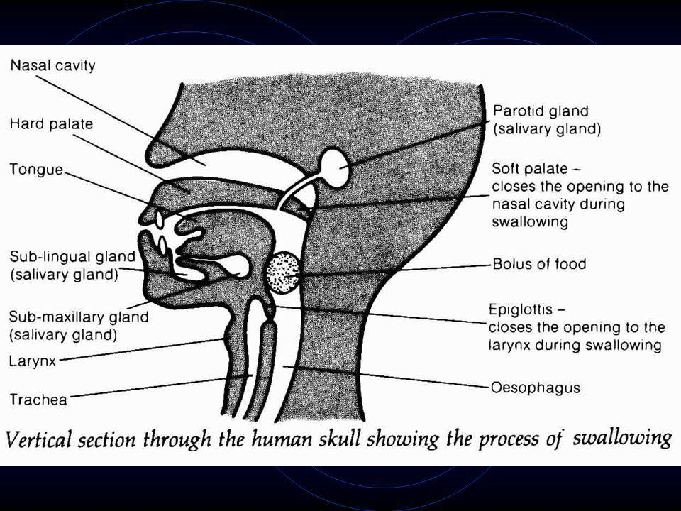 15.4.2 Swallowing and peristalsis - pharynx leads to both trachea & oesophagus - when swallowing food, epiglottis closes entrance to trachea to preven