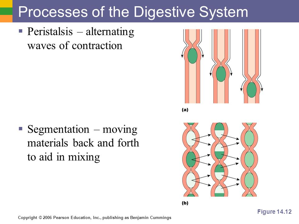 Copyright © 2006 Pearson Education, Inc., publishing as Benjamin Cummings Processes of the Digestive System Peristalsis – alternating waves of contraction Segmentation – moving materials back and forth to aid in mixing Figure 14.12