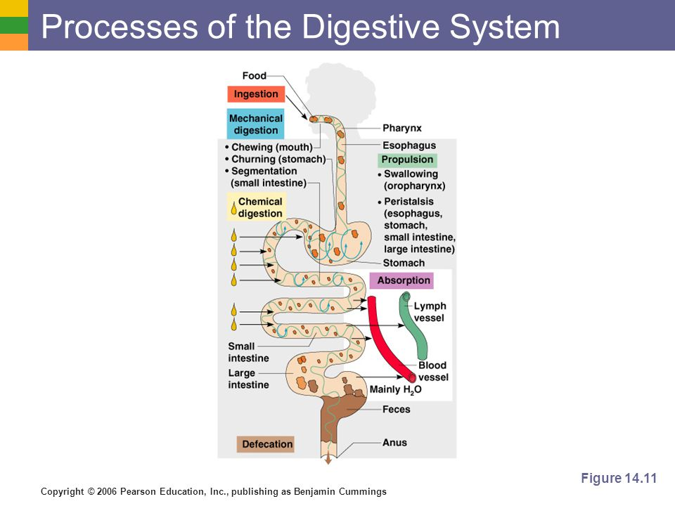 Copyright © 2006 Pearson Education, Inc., publishing as Benjamin Cummings Processes of the Digestive System Figure 14.11