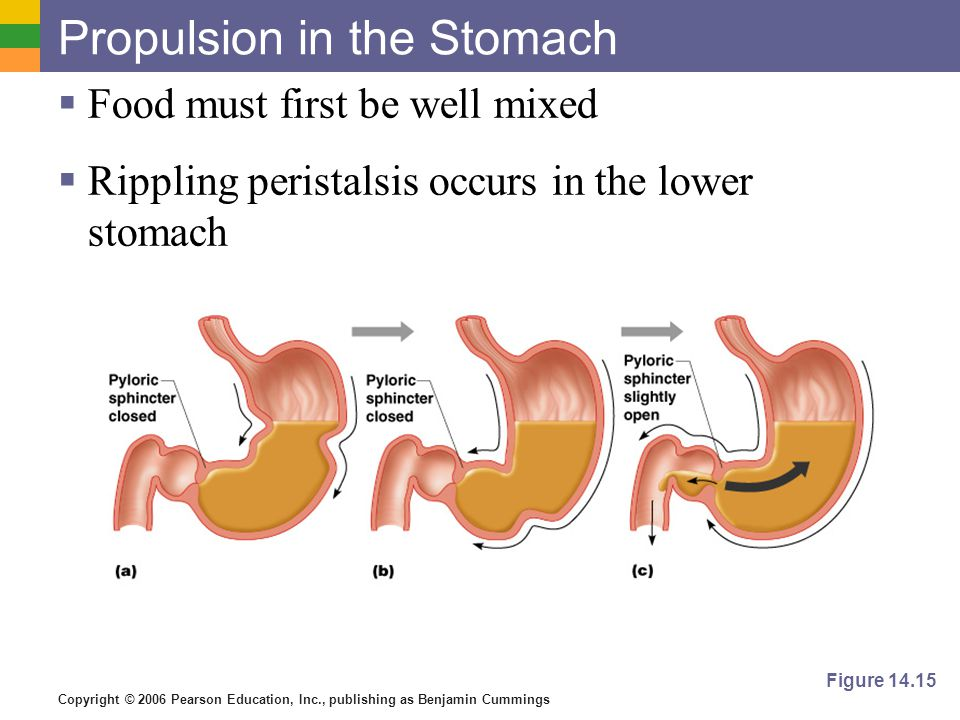 Copyright © 2006 Pearson Education, Inc., publishing as Benjamin Cummings Propulsion in the Stomach Food must first be well mixed Rippling peristalsis occurs in the lower stomach Figure 14.15
