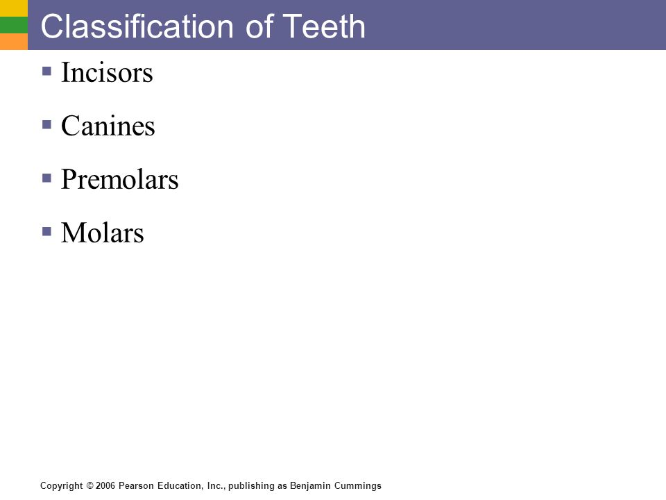 Copyright © 2006 Pearson Education, Inc., publishing as Benjamin Cummings Classification of Teeth Incisors Canines Premolars Molars