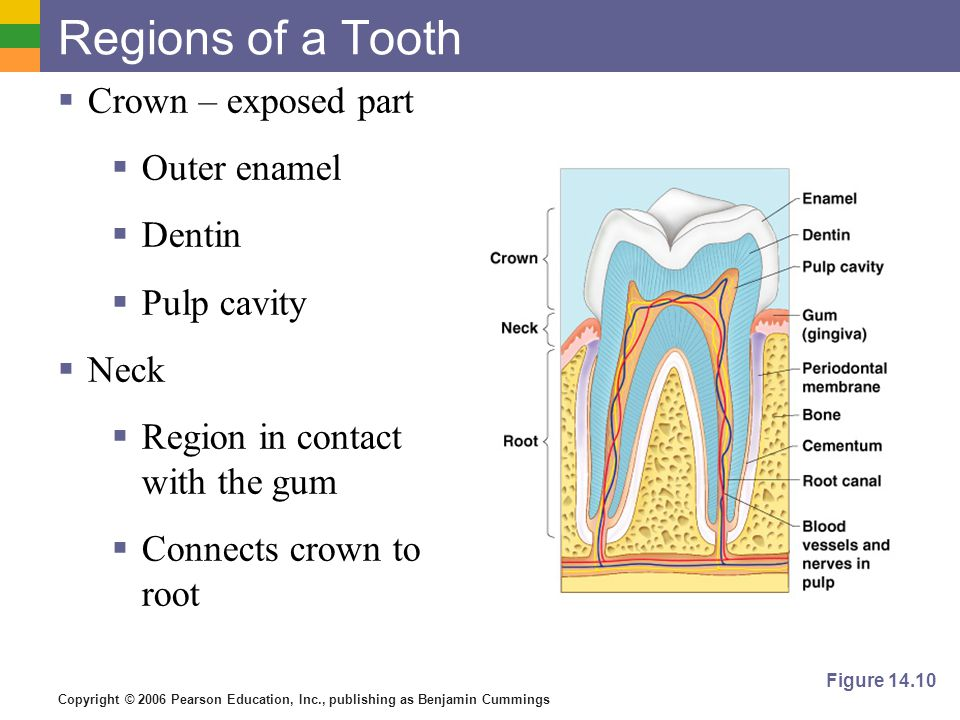 Copyright © 2006 Pearson Education, Inc., publishing as Benjamin Cummings Regions of a Tooth Crown – exposed part Outer enamel Dentin Pulp cavity Neck Region in contact with the gum Connects crown to root Figure 14.10
