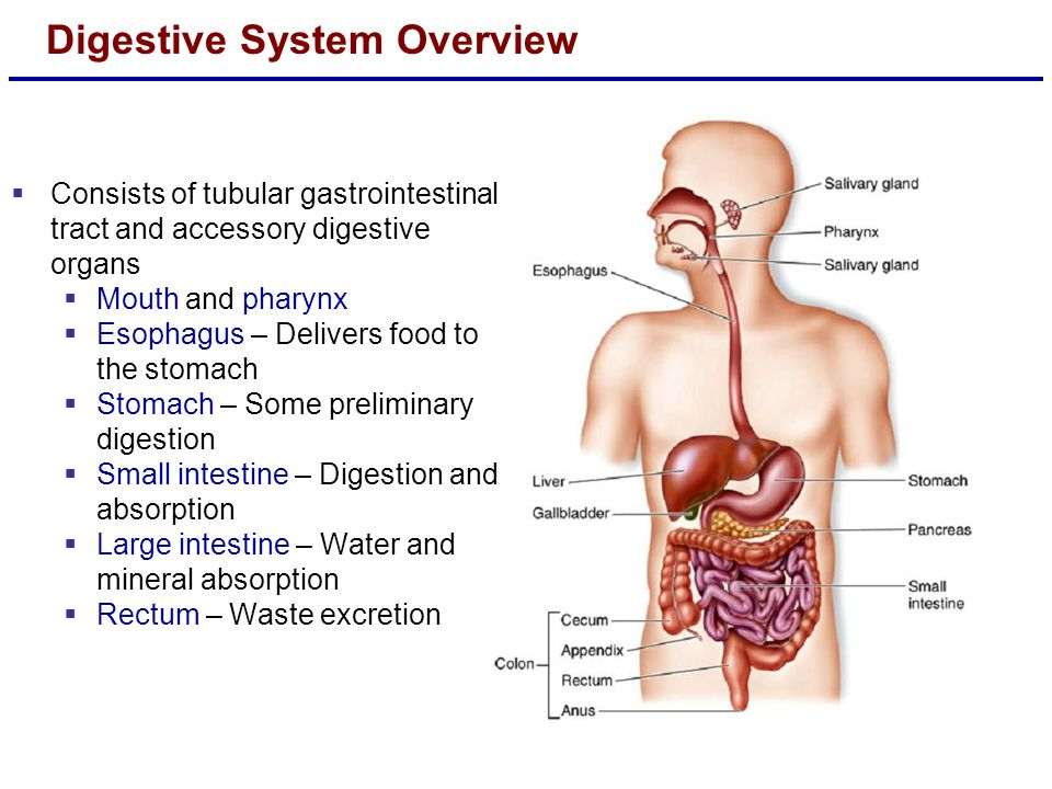 essays about the digestive system The digestive system of humans and other higher animals is the group of organs that changes food--carbohydrates, fats, and proteins--into soluble products that can be used by the body both mechanical action and chemical action are necessary to change food into products that are usable by the body.