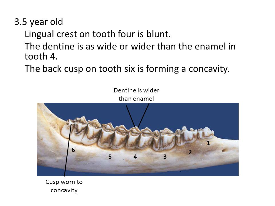 3.5 year old Lingual crest on tooth four is blunt. The dentine is as wide or wider than the enamel in tooth 4. The back cusp on tooth six is forming a