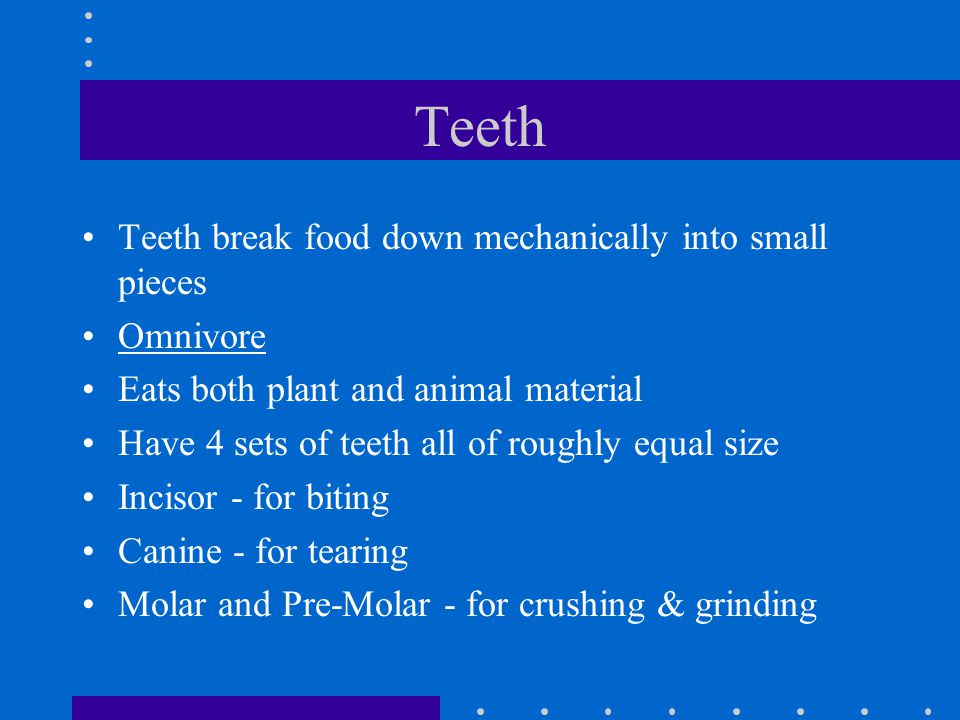 Teeth (2) Carnivore Normally only eats animal material Long curved canine teeth - for piercing and holding Premolars & Molars - sharp cutting edges Carnassial teeth - at the back of the mouth, effective at shearing bone and slicing tendons