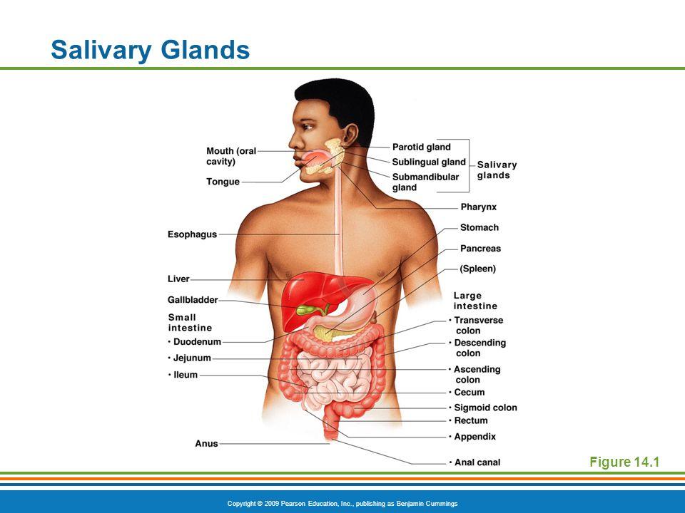Copyright © 2009 Pearson Education, Inc., publishing as Benjamin Cummings Figure 14.1 Salivary Glands
