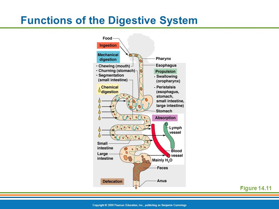 Copyright © 2009 Pearson Education, Inc., publishing as Benjamin Cummings Functions of the Digestive System Figure 14.11