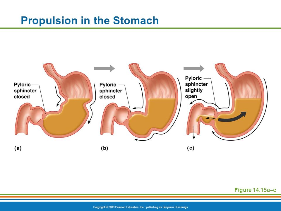 Copyright © 2009 Pearson Education, Inc., publishing as Benjamin Cummings Propulsion in the Stomach Figure 14.15a–c