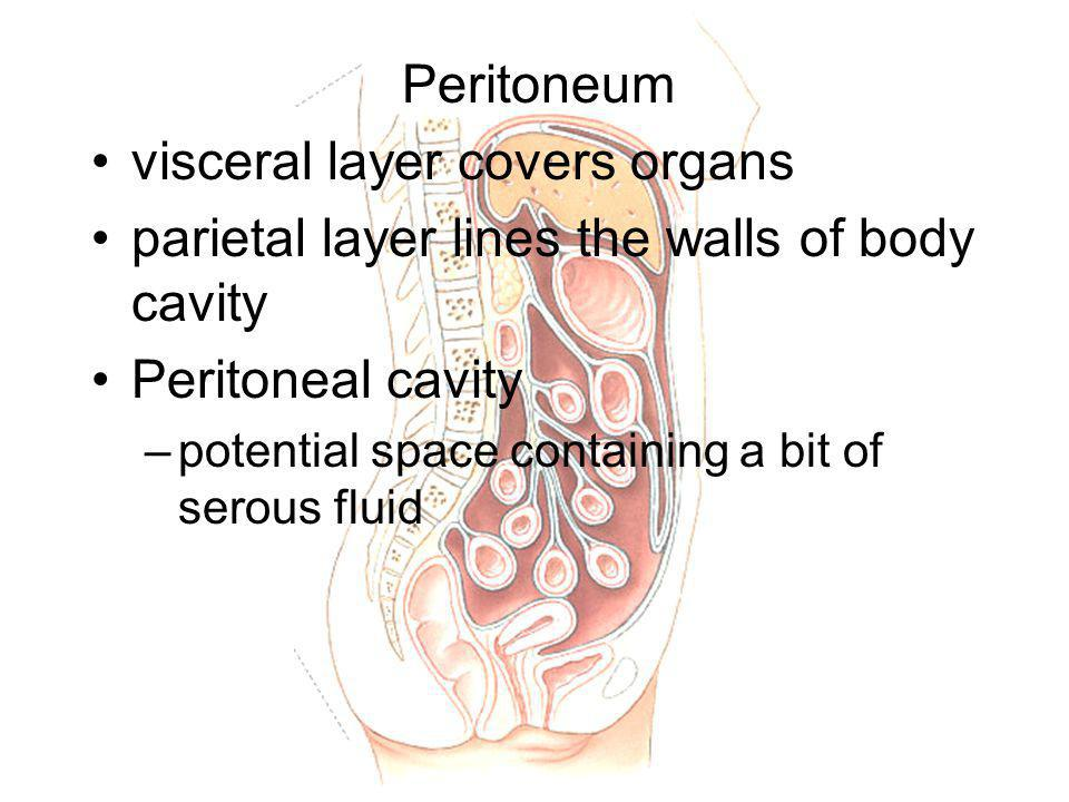 Peritoneum visceral layer covers organs parietal layer lines the walls of body cavity Peritoneal cavity –potential space containing a bit of serous fluid