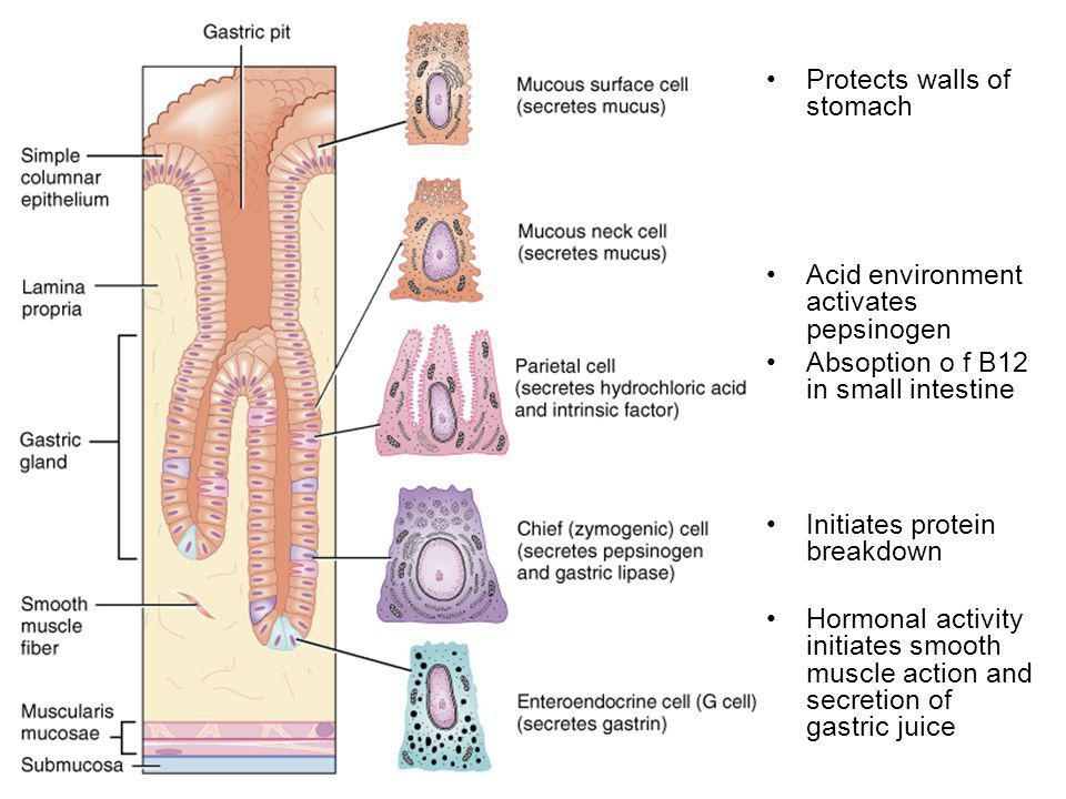 Protects walls of stomach Acid environment activates pepsinogen Absoption o f B12 in small intestine Initiates protein breakdown Hormonal activity initiates smooth muscle action and secretion of gastric juice