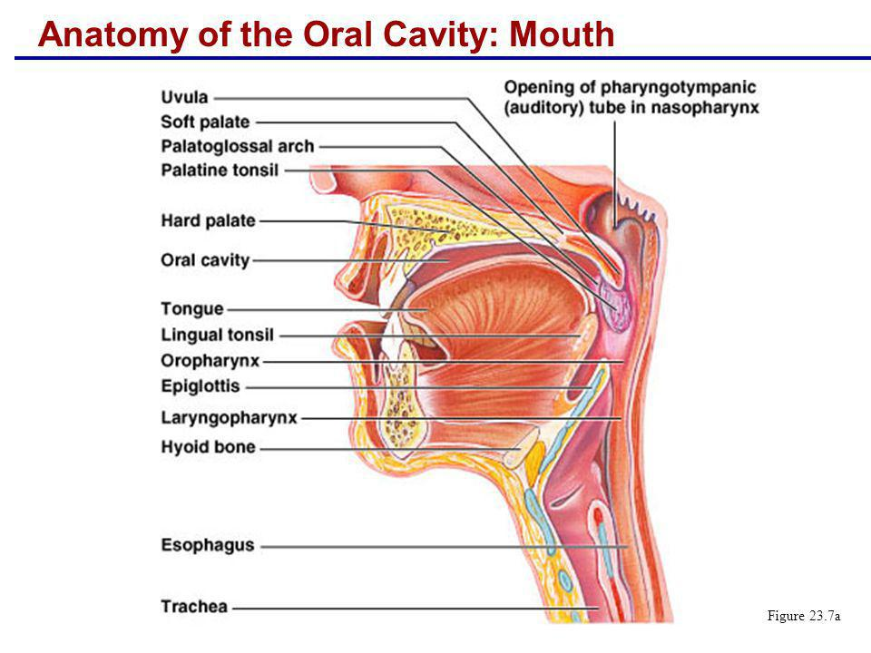 Anatomy of the Oral Cavity: Mouth Figure 23.7a