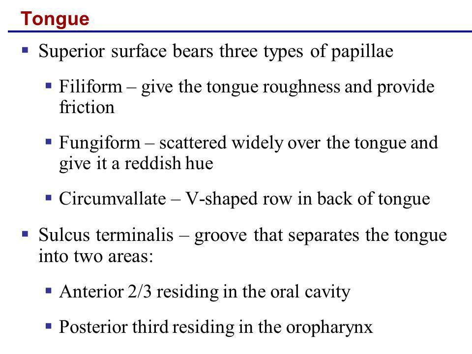 Tongue Superior surface bears three types of papillae Filiform – give the tongue roughness and provide friction Fungiform – scattered widely over the