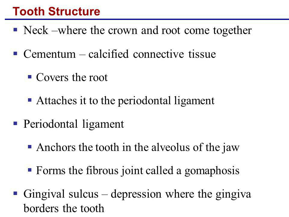 Tooth Structure Neck –where the crown and root come together Cementum – calcified connective tissue Covers the root Attaches it to the periodontal lig