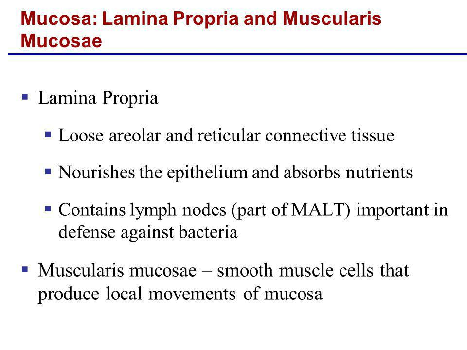 Lamina Propria Loose areolar and reticular connective tissue Nourishes the epithelium and absorbs nutrients Contains lymph nodes (part of MALT) import