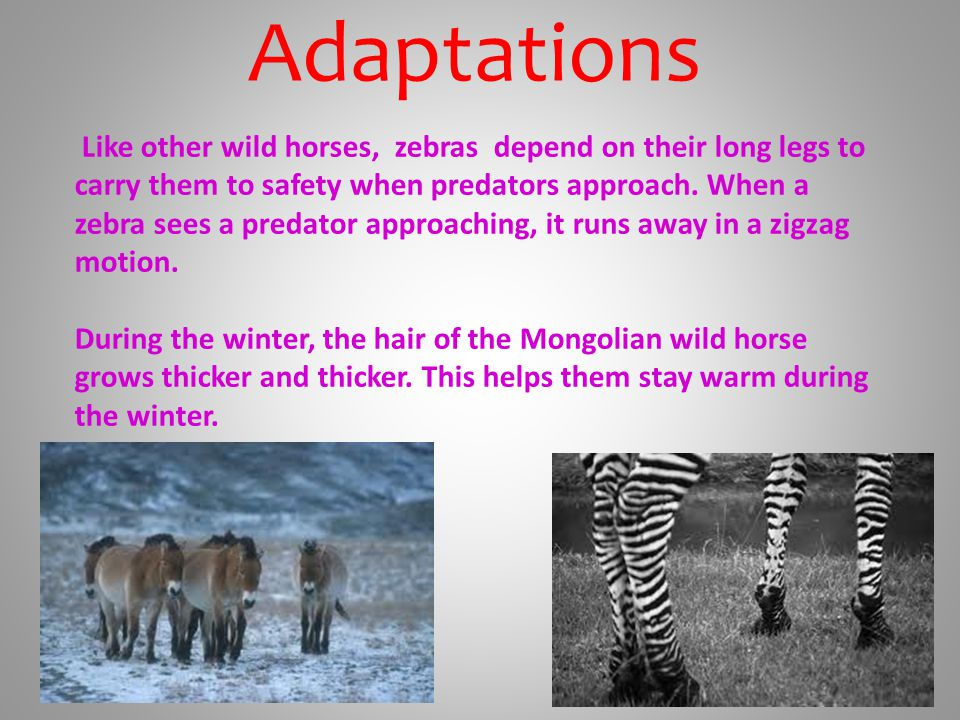 Adaptations Like other wild horses, zebras depend on their long legs to carry them to safety when predators approach.