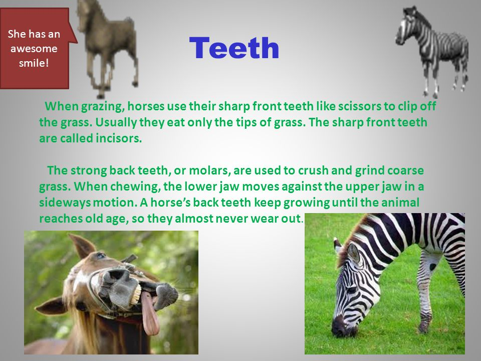 Teeth When grazing, horses use their sharp front teeth like scissors to clip off the grass.