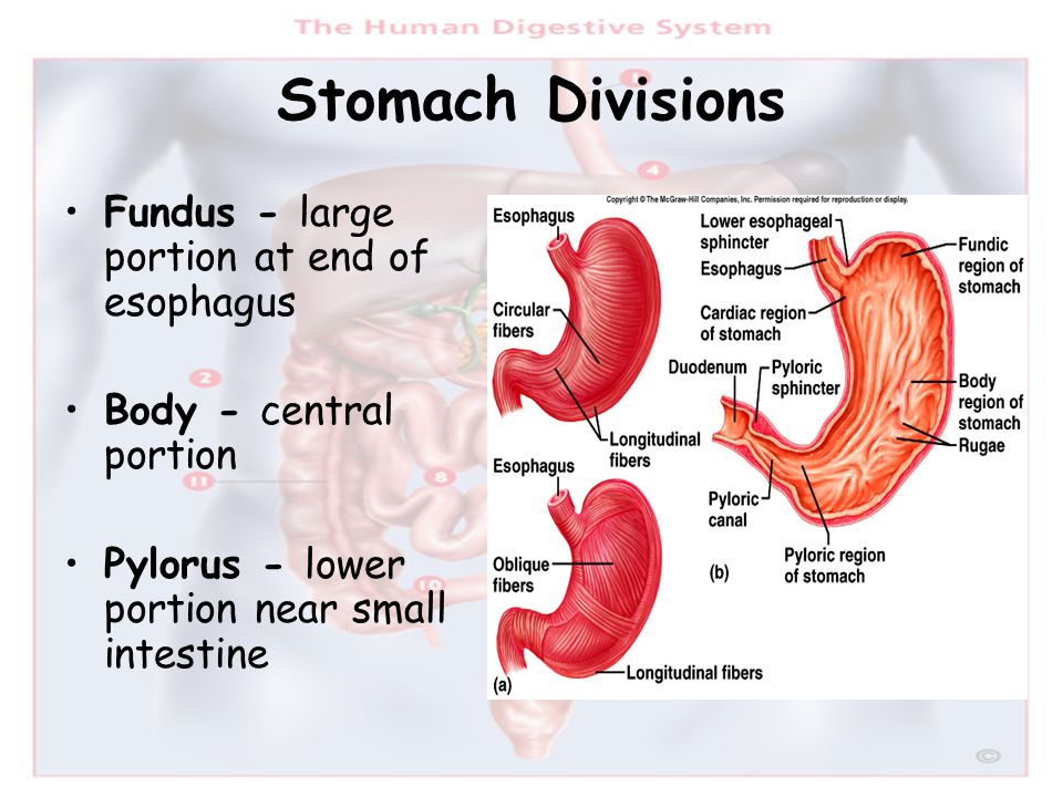 Stomach Divisions Fundus - large portion at end of esophagus Body - central portion Pylorus - lower portion near small intestine