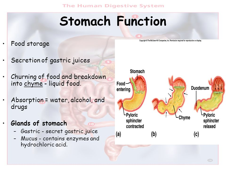 Stomach Function Food storage Secretion of gastric juices Churning of food and breakdown into chyme - liquid food. Absorption = water, alcohol, and dr