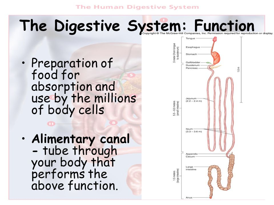 The Digestive System: Function Preparation of food for absorption and use by the millions of body cells Alimentary canal - tube through your body that