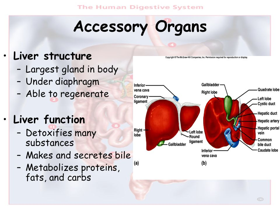 Accessory Organs Liver structure –Largest gland in body –Under diaphragm –Able to regenerate Liver function –Detoxifies many substances –Makes and sec