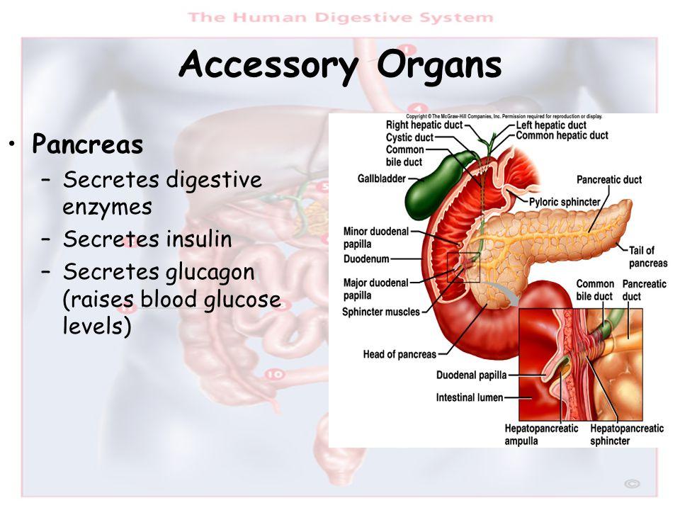 Accessory Organs Pancreas –Secretes digestive enzymes –Secretes insulin –Secretes glucagon (raises blood glucose levels)