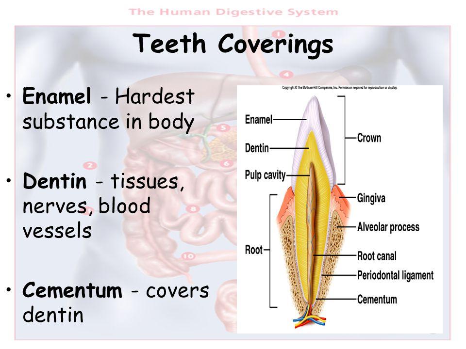 Teeth Coverings Enamel - Hardest substance in body Dentin - tissues, nerves, blood vessels Cementum - covers dentin
