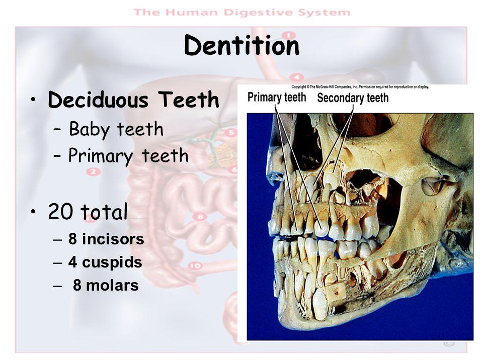 Dentition Deciduous Teeth –Baby teeth –Primary teeth 20 total –8 incisors –4 cuspids – 8 molars