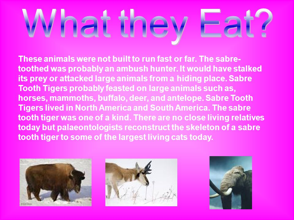 These animals were not built to run fast or far. The sabre- toothed was probably an ambush hunter. It would have stalked its prey or attacked large an
